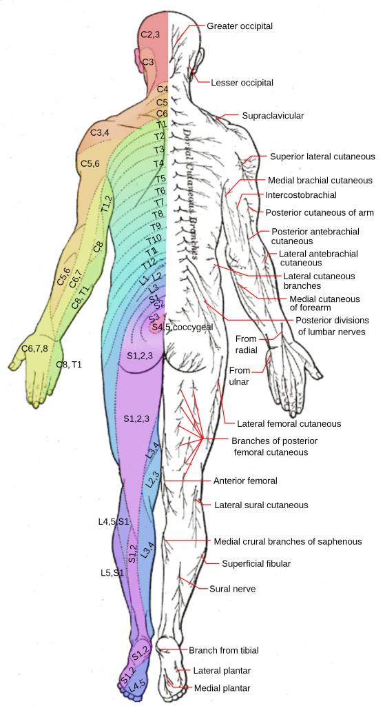 Dermatomes (Back)