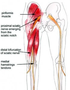 Anatomy of the posterior leg, hamstring and sciatic nerve